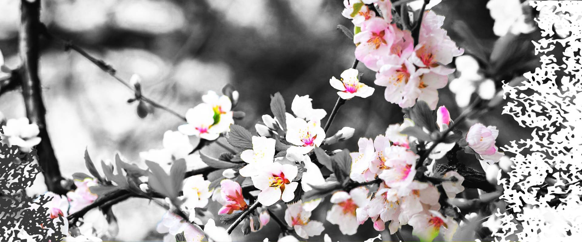 Cerisier en fleur - Budo Club Chartrain